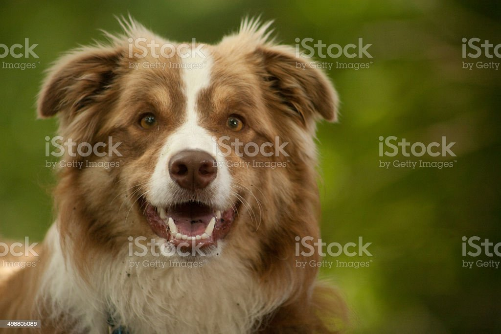 portrait of border collie stock photo