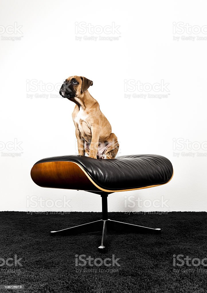 Portrait of Boxer Puppy Sitting on Foot Stool royalty-free stock photo