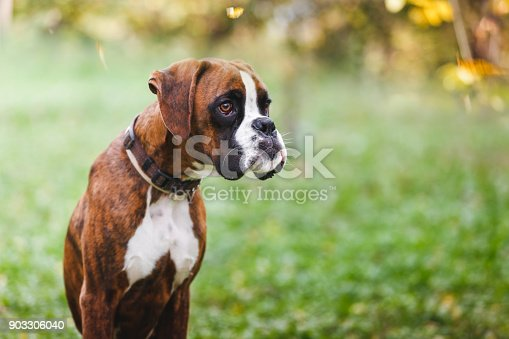 Portrait of brown boxer puppy sitting on grass in the park, selective focus, large copy space