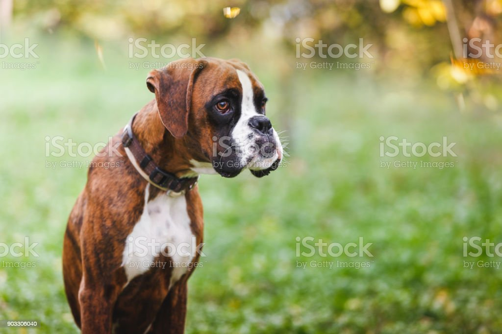 Portrait of boxer puppy sitting on grass in the park stock photo