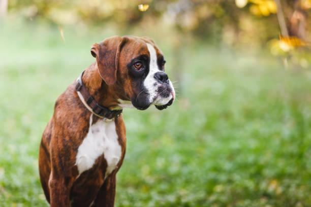 portrait of boxer puppy sitting on grass in the park - bokser pies zdjęcia i obrazy z banku zdjęć