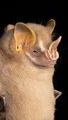 istock Portrait of  Brazilian bat, Gervais's fruit-eating bat 1282208021