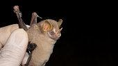 istock Portrait of  Brazilian bat, Gervais's fruit-eating bat 1282208067
