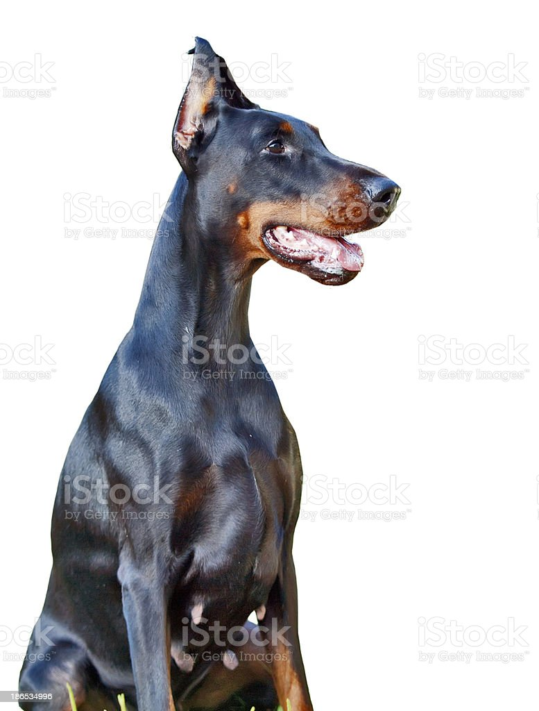 portrait of breed doberman isolated on white stock photo