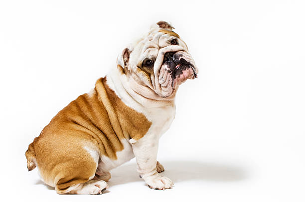 Portrait of British Bulldog White Background Five year old British Bulldog adopting a rather coquettish pose for the camera.More Bugs & Pets here bulldog stock pictures, royalty-free photos & images