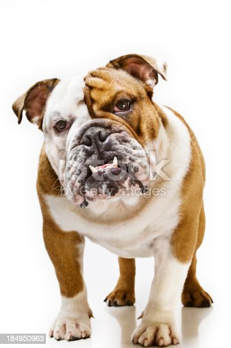 One year old British Bulldog adopting a rather sceptical pose for the camera.More Bugs & Pets here