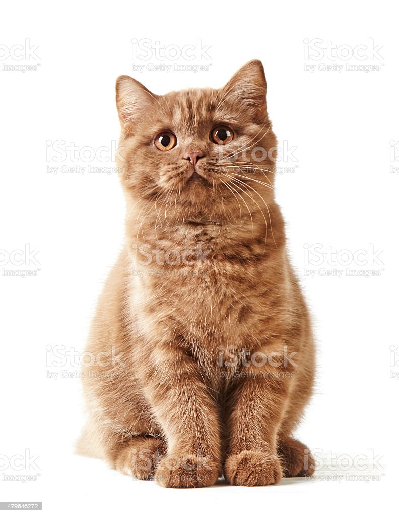 portrait of british kitten stock photo