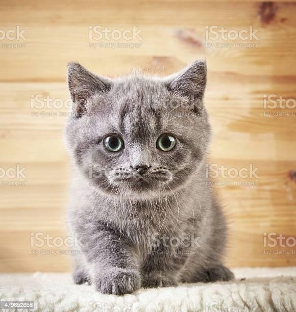 Portrait of british kitten picture id479652658?b=1&k=6&m=479652658&s=612x612&h=e47y26 v9ghuamrnhyxbj8r7he28juq5dw4ffjrxir8=