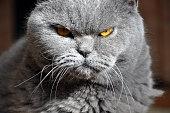 Studio portrait of a persian cat with suspicious expression.