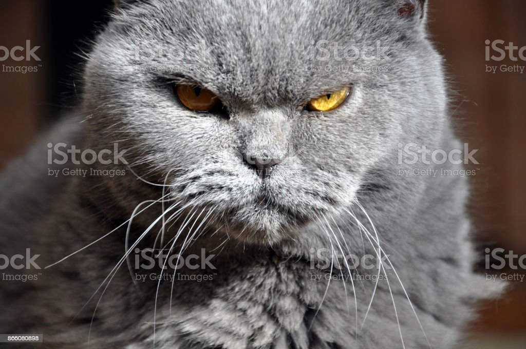 Portrait of British Short hair blue cat with yellow eyes. stock photo