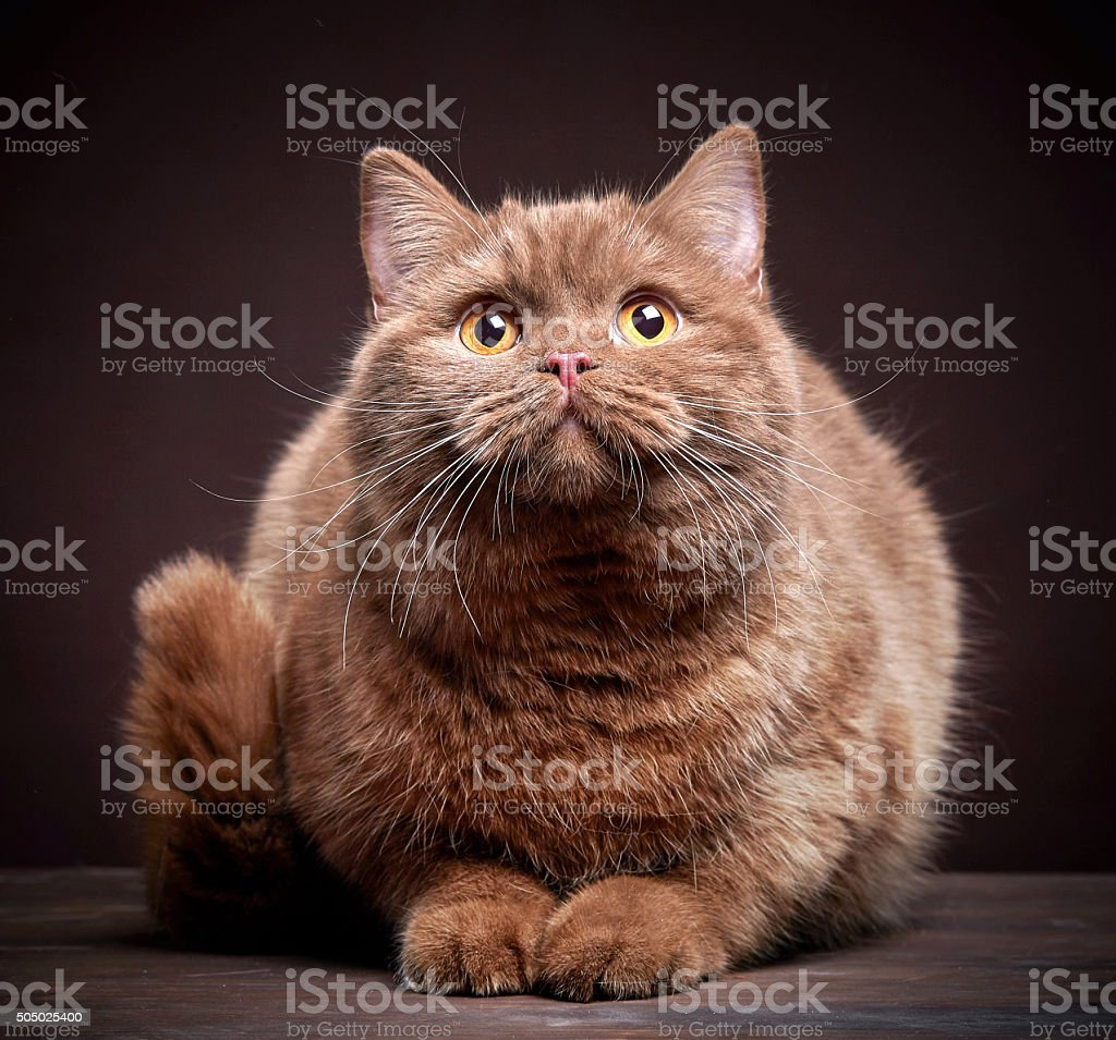 Portrait of british short hair cat stock photo