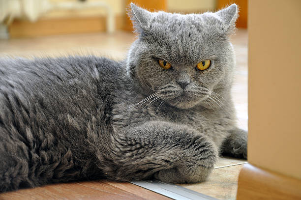 Portrait of British Shorthair blue cat. stock photo