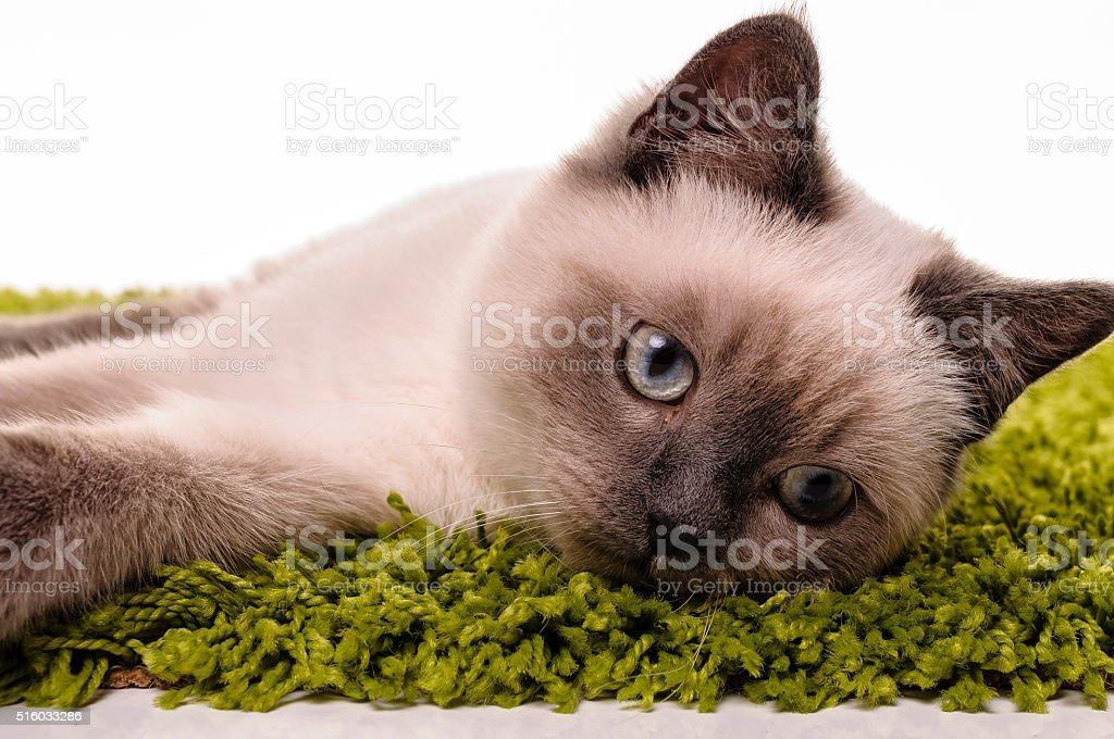Portrait of British Shorthair cat stock photo