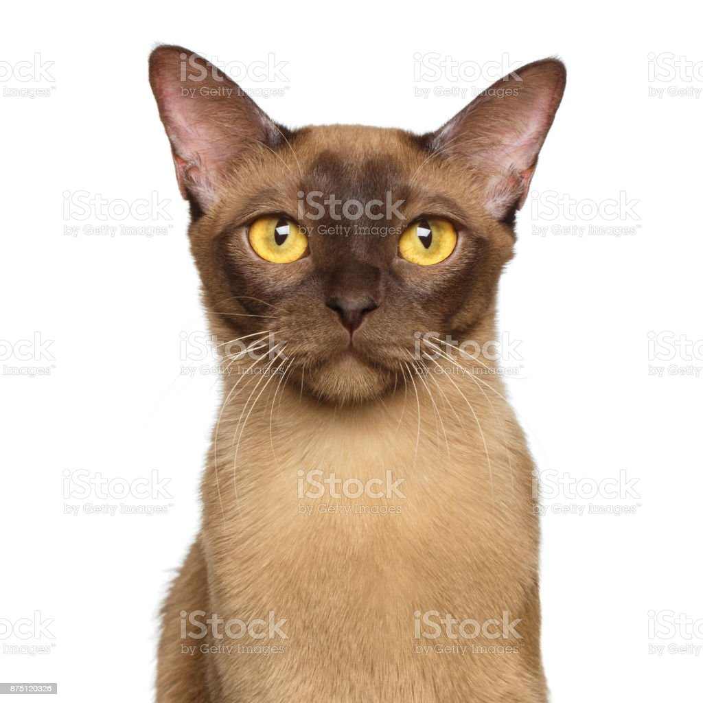 Portrait of Brown Burmese Cat isolated on white background stock photo
