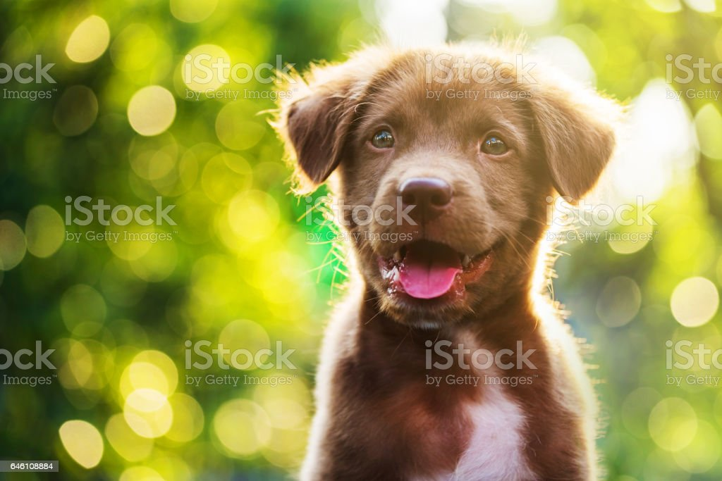 Portrait of brown cute Labrador retriever puppy with sunset bokeh abstract