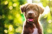 日没のボケ味を持つ茶色のかわいいラブラドールレトリバーの子犬の肖像画