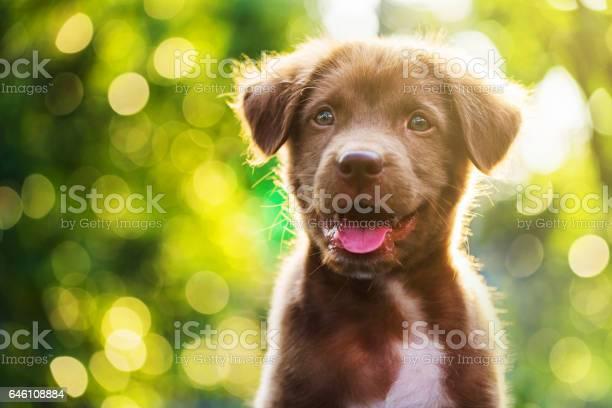 Portrait of brown cute labrador retriever puppy with sunset bokeh picture id646108884?b=1&k=6&m=646108884&s=612x612&h=r5zsk6xlg9wpxjl7u3fmyapnp9p7ryjzy5mnurmqawy=