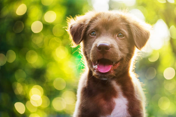 portrait of brown cute labrador retriever puppy with sunset bokeh abstract - cute stock pictures, royalty-free photos & images