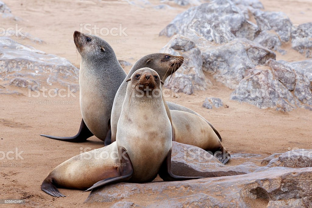 portrait of Brown fur seal - sea lions in Namibia stock photo