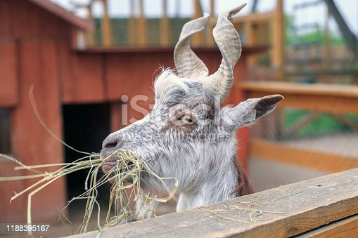 Portrait of brown horned goat chewing hay at farm, selective focus