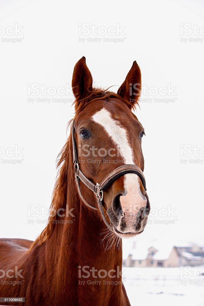 Portrait of brown horse in winter stock photo