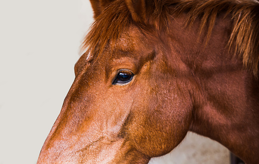 Portrait of young brown horse