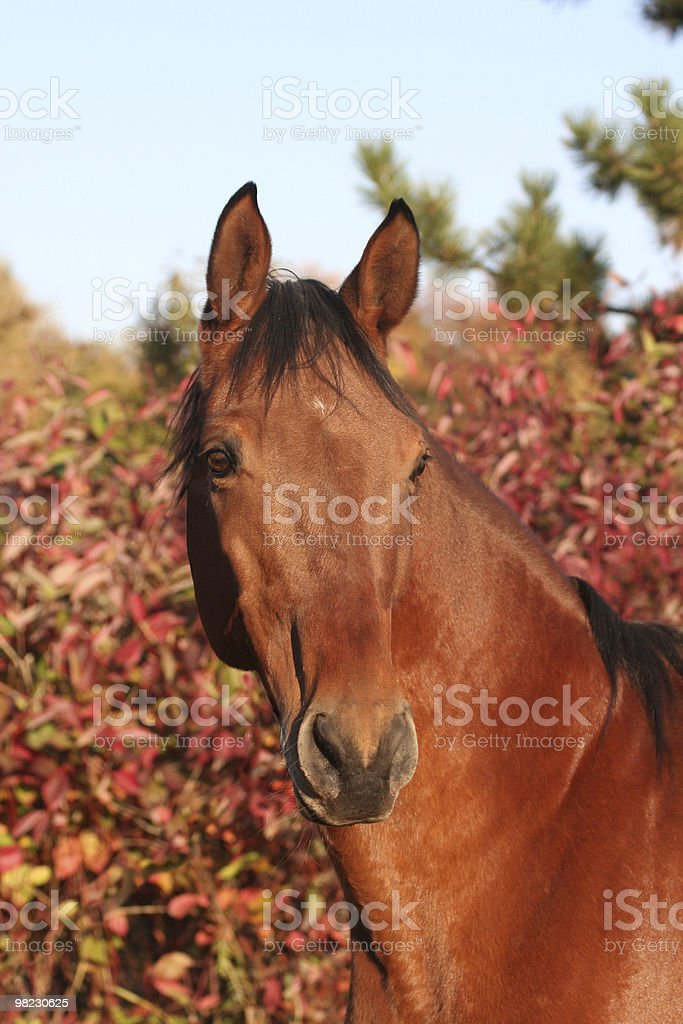 Portrait of brown horse royalty-free stock photo