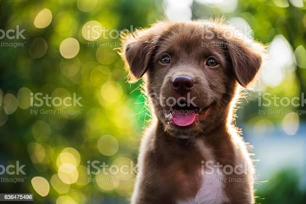 Portrait of brown puppy with bokeh background picture id636475496?b=1&k=6&m=636475496&s=612x612&h=tbcnz4xlfjq4lbff6yn3qdlvqadpbrmso2wauhqjb 4=