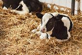 Portrait of calf lying in straw on farm