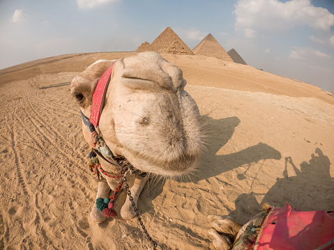 Tourist transportation, camels resting in front of the famous pyramids in Cairo, Egypt.