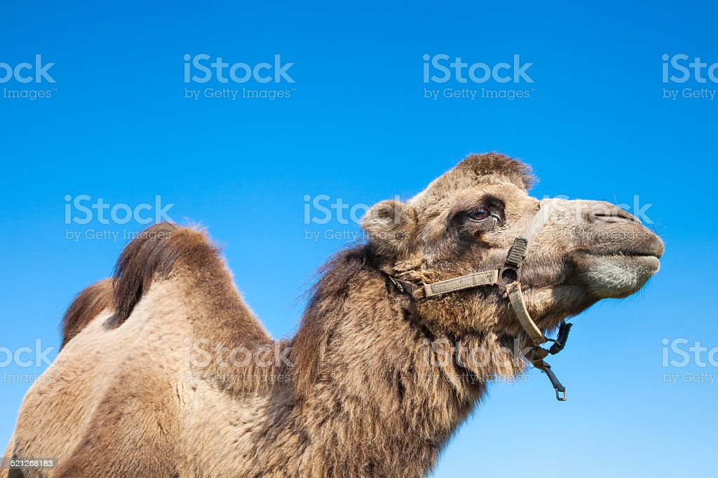 portrait of camel stock photo