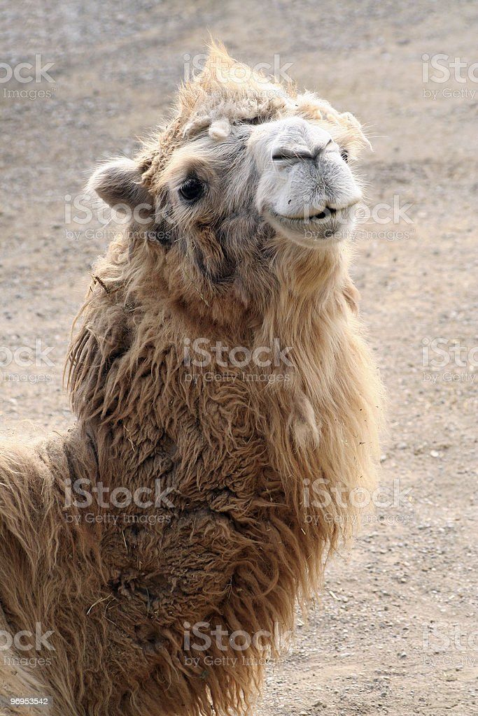 Portrait of camel royalty-free stock photo