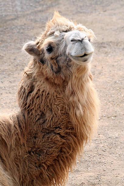 Porträt von Kamel – Foto