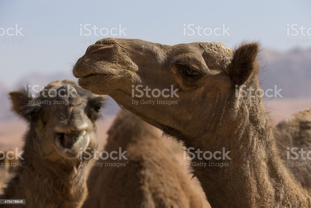 Portrait of Camels royalty-free stock photo