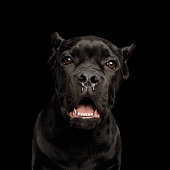 Black Young Cane Corso Dog Wears In Special Clothes Sitting Outdoors. Big Dog Breeds.