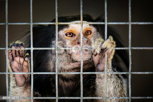 Portrait of black-tufted marmoset (also known as black pencilled marmoset) in cage. It is holding to bars watching the outside world.