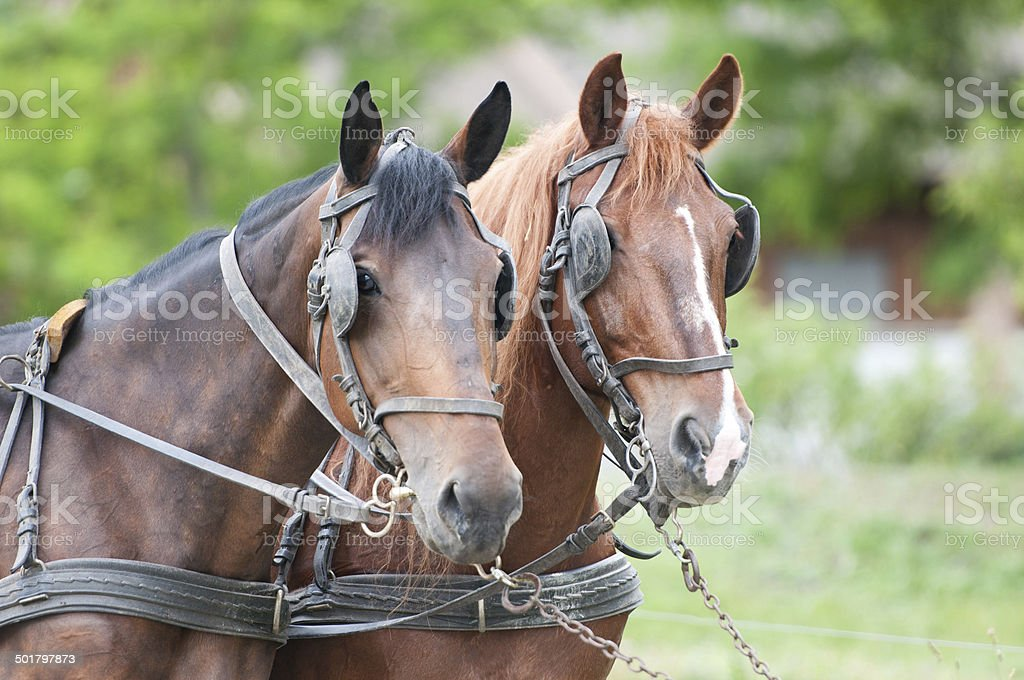 portrait of carriage driving horses stock photo