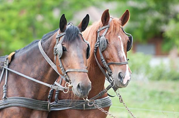 porträt von kutschfahrt pferde - scheuklappe stock-fotos und bilder