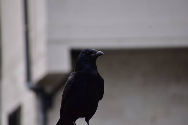 Portrait of carrion crow stock photo