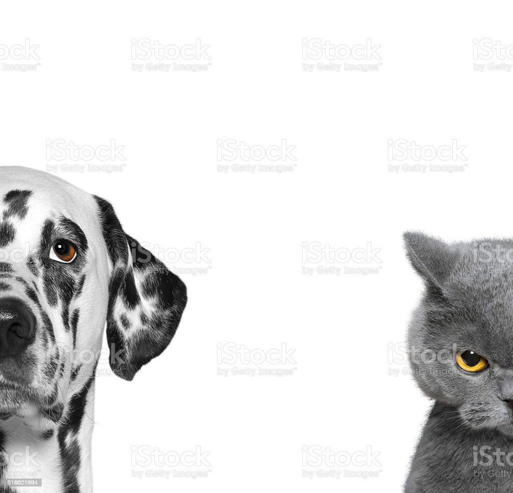 portrait of cat and dog isolated on white background stock photo