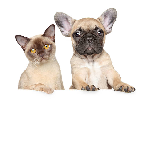Portrait of cat and dog on a white banner picture id465513221?b=1&k=6&m=465513221&s=612x612&w=0&h= nexkv4desocmcww7kymnffkhjaepxszwprgwxw  my=