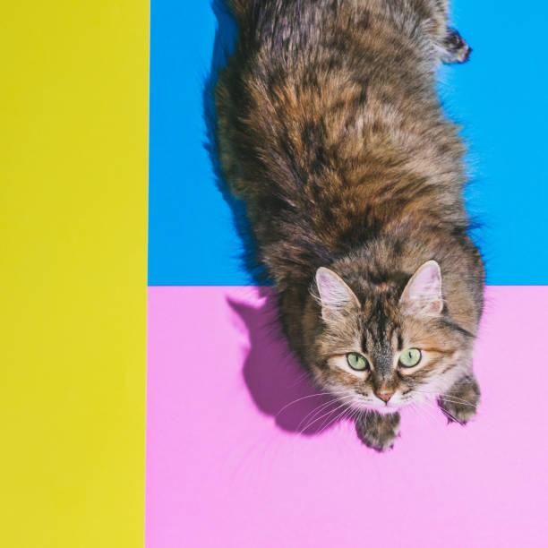 retrato de la cabeza del gato sobre los talones sobre los bloques de color fondo - cat vaporwave fotografías e imágenes de stock