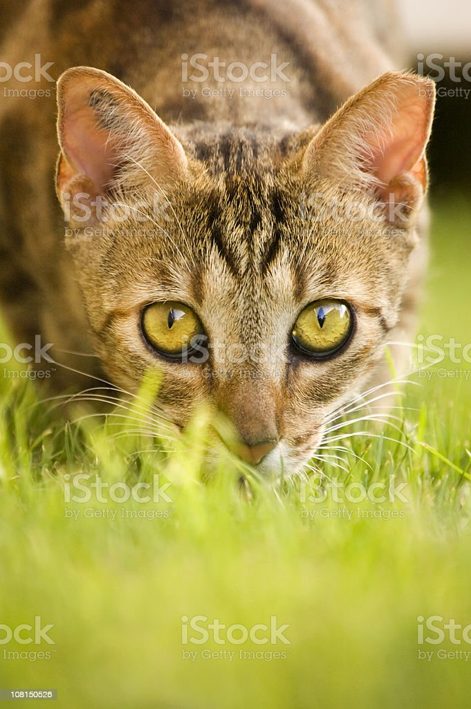 Portrait of Cat Hiding in Grass royalty-free stock photo