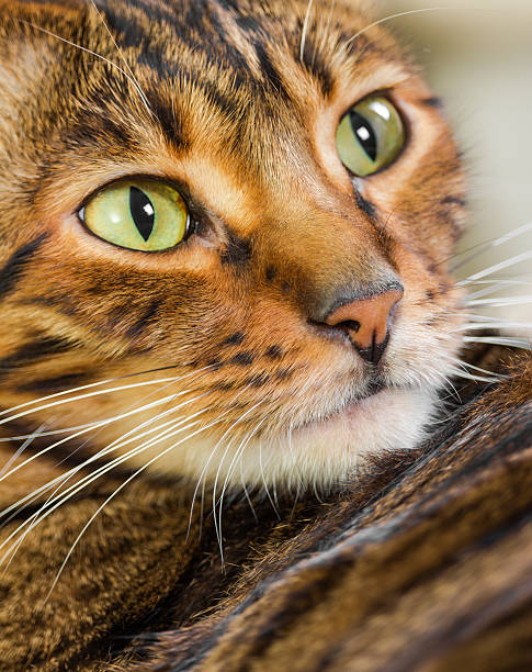 Portrait of cat rare breed of toyger picture id593318042?b=1&k=6&m=593318042&s=612x612&w=0&h=yljawlnzmmvds233mnvtbb2jgv4myzwuc9947cvdbmm=