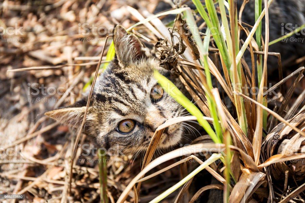Portrait of cat thai royalty-free stock photo