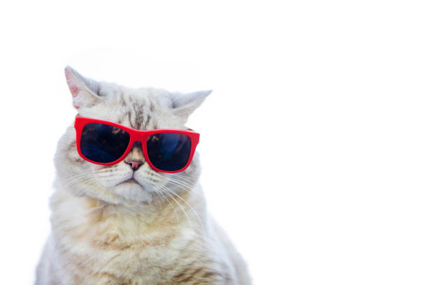 Portrait of cat wearing sunglasses isolated on white background picture id805054006?b=1&k=6&m=805054006&s=612x612&w=0&h=pkzs53dqqpdxhzgt8ff2rwjsu9qvtw1rcie99igrtmi=