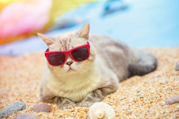 Portrait of cat wearing sunglasses lying on the beach picture id978340214?b=1&k=6&m=978340214&s=612x612&w=0&h=2p7fbq6cmwh5libp0pwcg3k6wpwkfaphg213ywqbjxm=