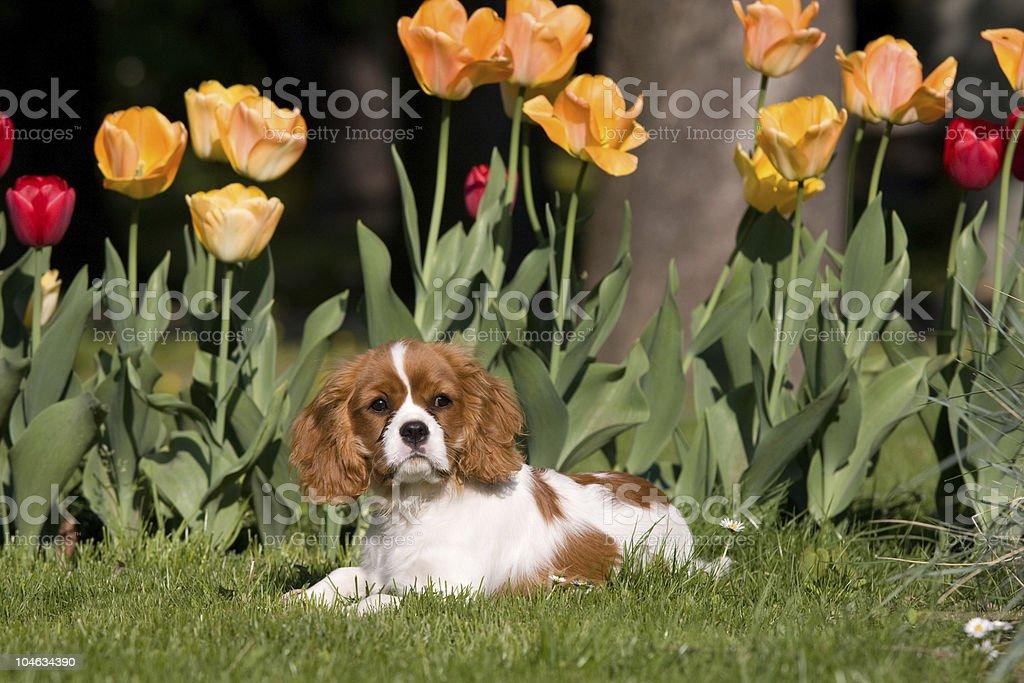 Portrait of Cavalier King Charles spaniel royalty-free stock photo