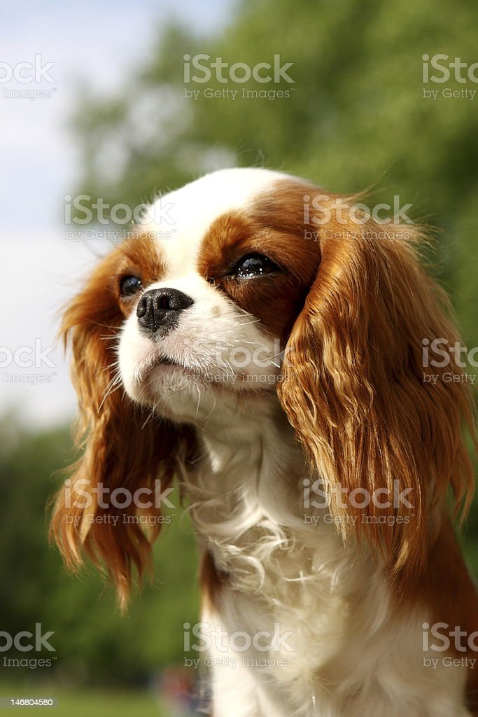 Portrait of cavalier King Charles Spaniel. Shallow DOF stock photo