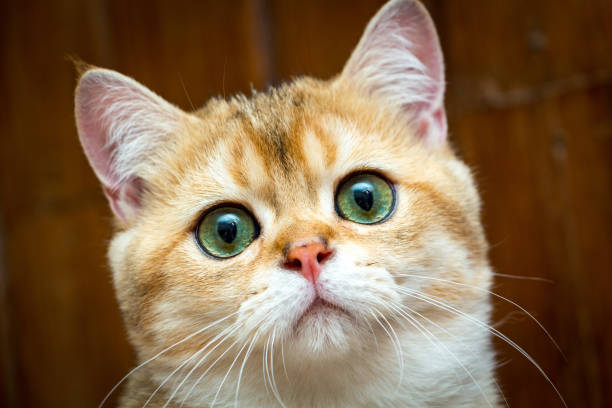 Portrait of charming Golden British young cat's muzzle with green eyes stock photo